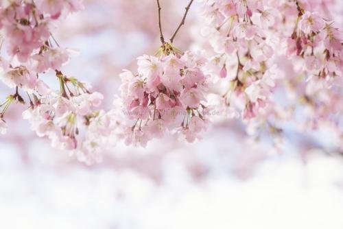 Momente. Frühling, Kirschenblüten, Natur Fotos zum kaufen von Iryna Mathes