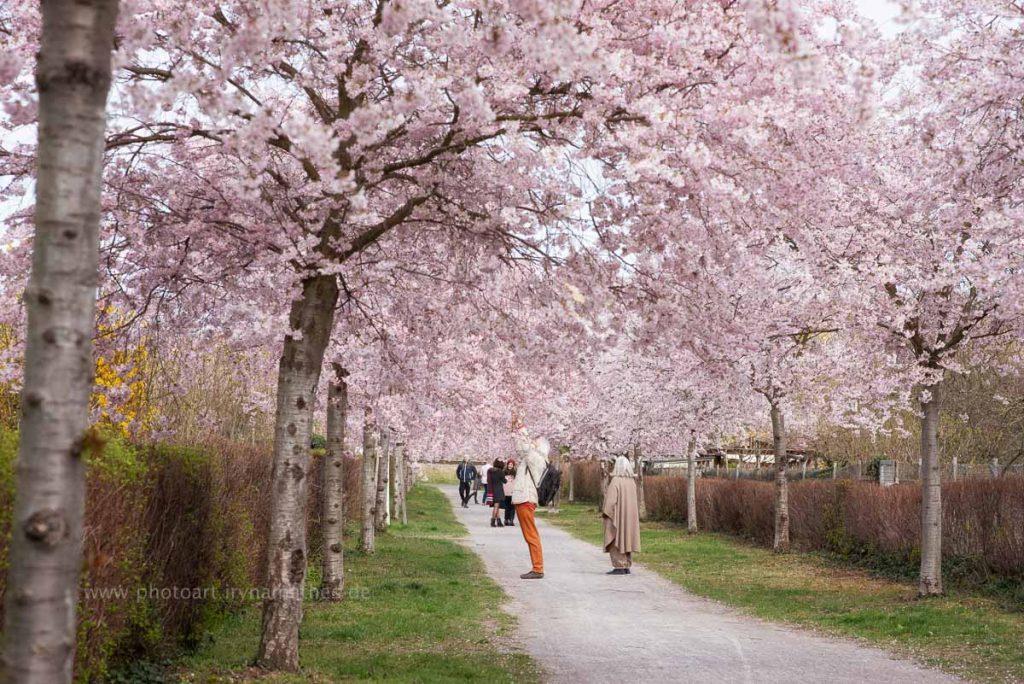 Momente. Frühling, Kirschenblüten, Natur Fotos zum kaufen von Iryna Mathes. Karlsruhe