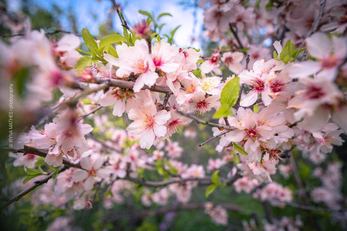 Nahaufnahme von Blumen, Blättern und Zweigen von voll blühenden Kirschbäumen im Frühjahr