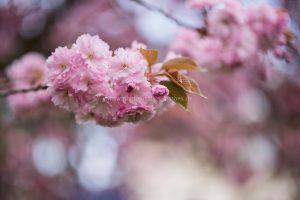 Frühling. Kirschbäume blühen. Natur Photography