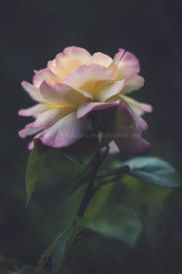 Die Rose. Naturmort. Photography