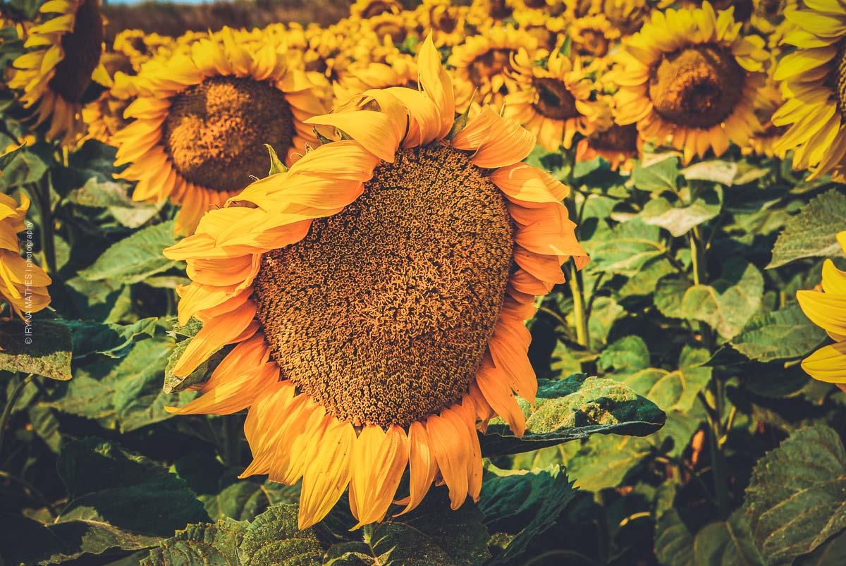Sonnenblumen. Ukraine. Naturfotografie