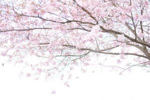 Frühling. Kirschbäume blühen. Natur Photography. Motiv günstig kaufen