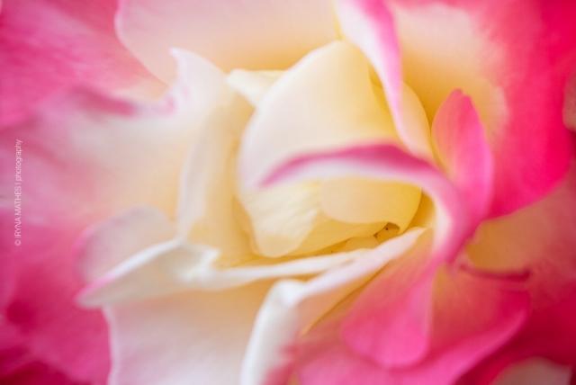 Makroaufnahme von eine Rose. Blumen Welten bei Iryna Mathes Fotografin