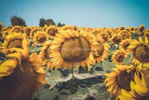 Sonnenblumen. Natur Photography