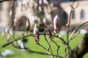 Magnolien Knospen im Frühling