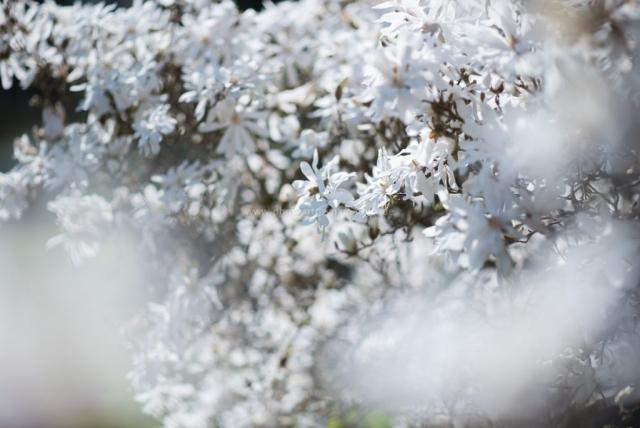 Blumenpracht. Magnolien weiß