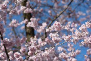 Kirschen blühen. Naturfotografie