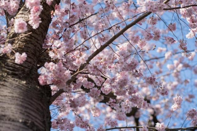 Kirschen blühen. Natur Fotografie