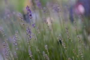 Lavendel. Natur Fotografie Iryna Mathes. Deutschland