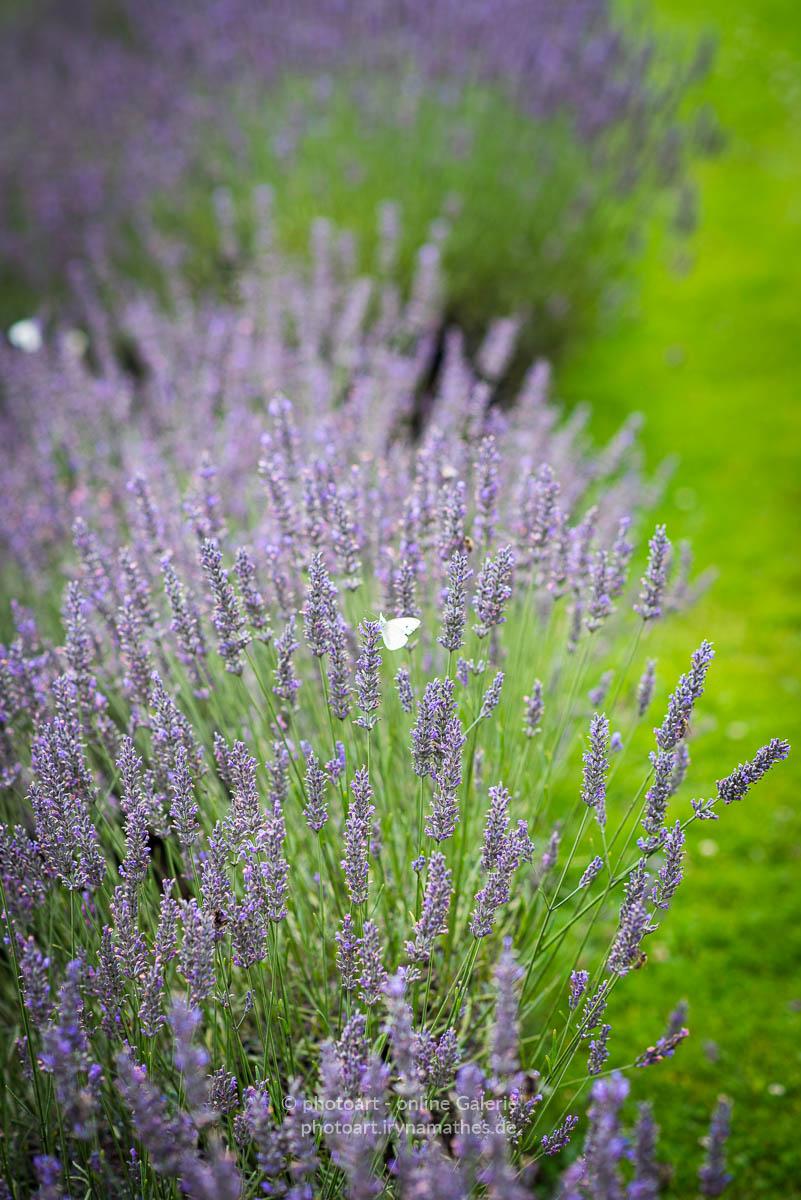 Lavendel und Schmetterling. Natur Fotografie . Sommer 2021