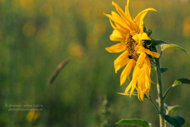 Sonnenblume. Natur Fotografie